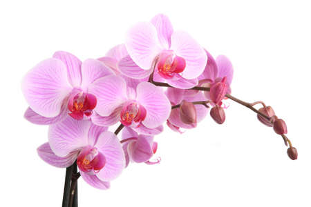 purple orchid: Pink orchid isolated on white background