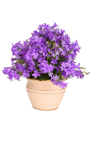 clay pot: Campanula bell flowers, isolated on white Stock Photo