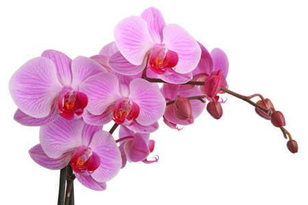 blooming. purple: Pink orchid isolated on white background