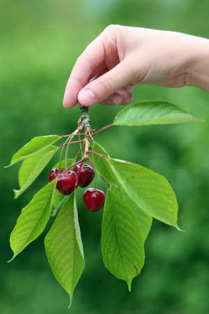 Female hand holding a cherry branch photo