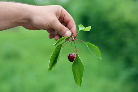 Male hand holding a cherry branch photo
