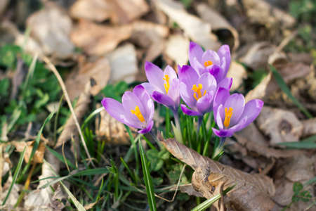 winter blues: Crocus in the forest