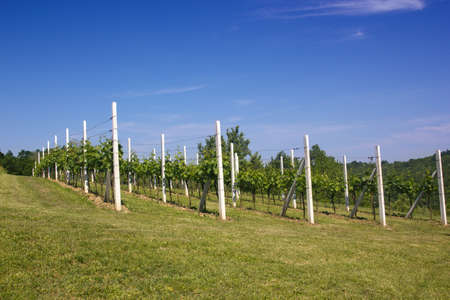 Vineyard under a blue sky photo
