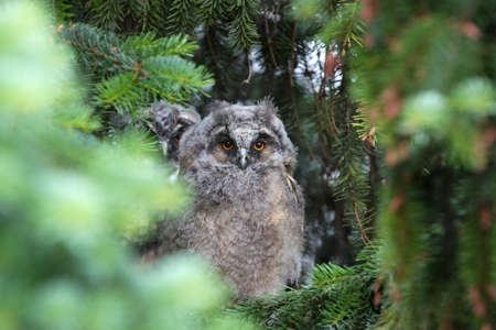 Young owl on a pine tree photo