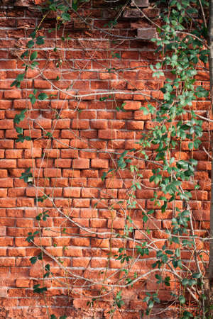 Brick wall covered with creeping ivy photo