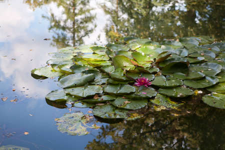 Beautiful pink Lotus flower floating in a lily pond Stock Photo