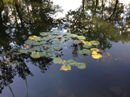 waterlillies: Luznica lake with waterlillies in the spring Stock Photo
