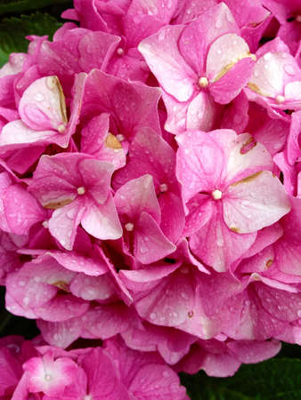 colorful: Pink Hydrangea detail