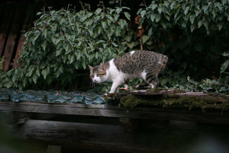 tabby cat: Cat without tail