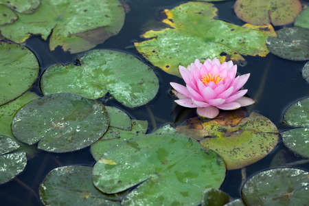 water lilly: Water lilly infested with pest
