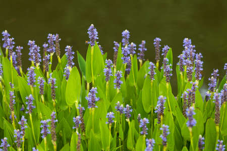 pickerel: Violet blue Pontederia flowers growing by the lake. Plant is also known as Blue Pickerel weeds. It is found in shallow water or on mud.