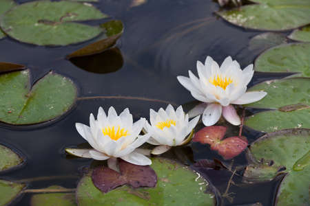 lake: White waterlilies