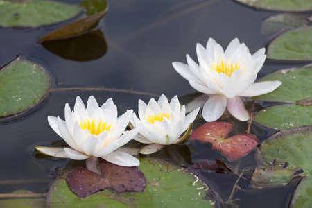 greeen: White waterlilies