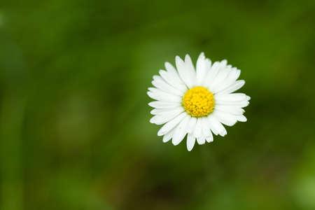 shallow: Daisy flower on a dark-green lawn background, shallow focus