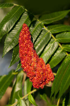 staghorn: Red flower of the staghorn sumac Rhus typhina