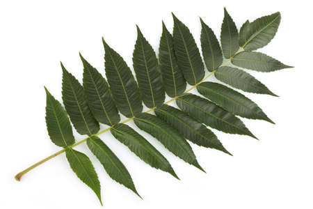 staghorn: Staghorn sumac leaves on white Stock Photo