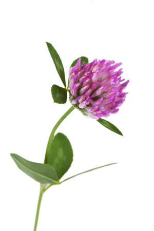 trifolium: Red clover trifolium pratense on white background Stock Photo