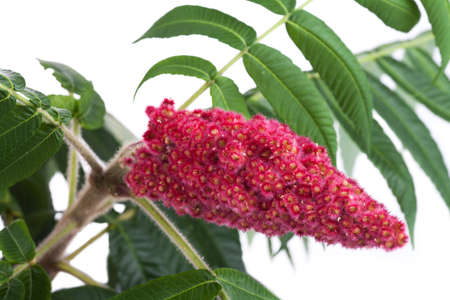 staghorn: Red flower of the staghorn sumac (Rhus typhina) Stock Photo