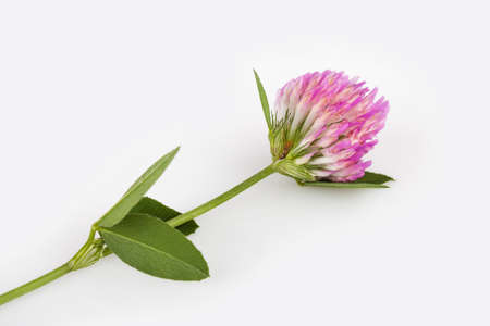 red clover: Red clover on gray background