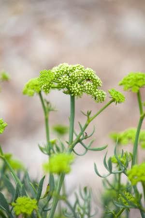 Crithmum maritimum wie Queller oder Meeresfenchel bekannt ist eine essbare wilde Pflanze am südlichen und westlichen Küsten von Großbritannien und Irland, auf Mittelmeer und Westküste von Europa zu finden, flachen Fokus Standard-Bild - 43795470