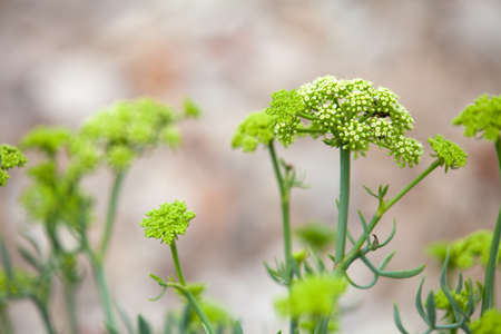 Crithmum maritimum known as samphire or sea fennel is an edible wild plant found on southern and western coasts of Britain and Ireland, on mediterranean and western coasts of Europe, shallow focus