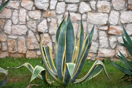 agave: Agave plant Stock Photo