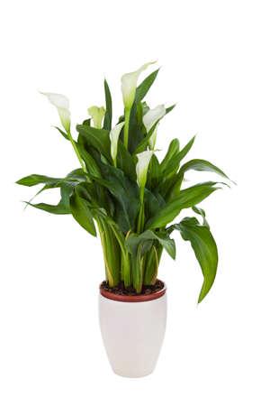 flor de lis: Calla lily en una olla, aislado en blanco Foto de archivo