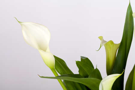 lillies: Calla lilies on gray background