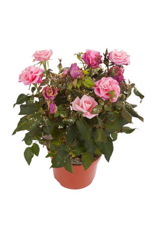 plant in pot: Roses in a pot