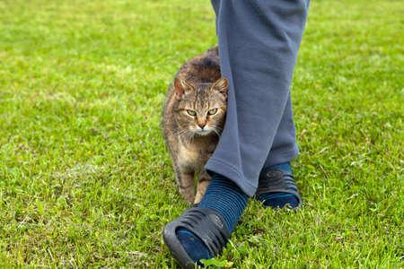 rubbing: Gray cat rubbing against female leg Stock Photo