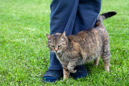 rubbing noses: Gray cat rubbing against female leg Stock Photo