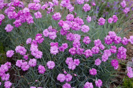 carnations: Pink carnations in the garden