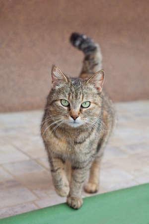 ojos verdes: Gato gris con los ojos verdes hermosos