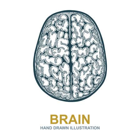 Brain. Hand drawn human brain illustration. Brain top view sketch drawing symbol.