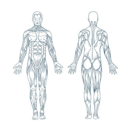 Human anatomy. Hand drawn human body anatomy. Male body muscular system sketch drawing. Part of set. Vetores