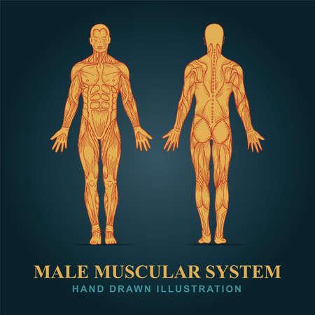 Human anatomy. Hand drawn human body anatomy. Male body muscular system sketch drawing. Part of set.