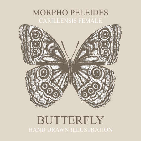 Butterfly Morpho peleides butterfly. Butterfly hand drawn vector illustration. Part of set.