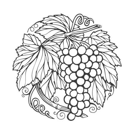 Grape bunch. Hand drawn grape bunch engraving style illustration. Grape and vine logo and background. Wine theme grape and vine vintage style ornament. Part of set. 写真素材 - 151140863