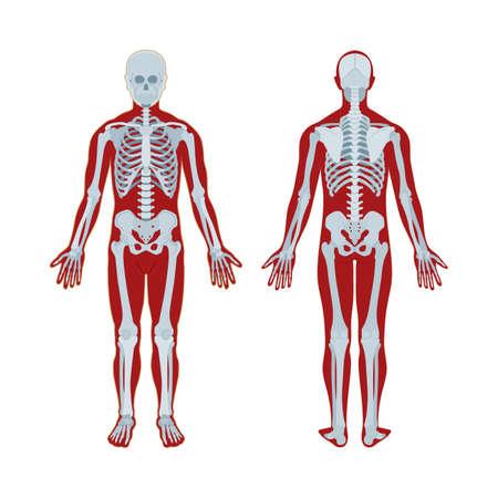 Skeleton. Human skeleton realistic vector illustration. Human skeleton front and back view. Bony system. Part of set.