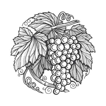 Grape bunch. Hand drawn grape bunch engraving style illustration. Grape and vine logo and background. Wine theme grape and vine vintage style ornament. Part of set. 写真素材 - 151140903