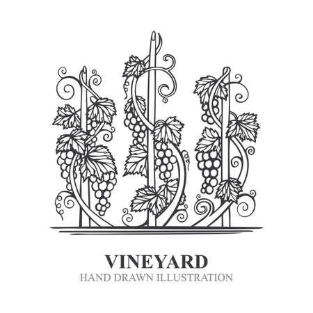 Grapes in vineyard. Hand drawn vine and grape bunch engraving style illustration. Vineyard stylized logo and design element. Wine theme grape and vine vintage style ornament. Part of set.  イラスト・ベクター素材