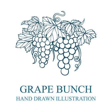 Grape bunch. Hand drawn grape bunch engraving style illustration. Grape and vine logo and background. Wine theme grape and vine vintage style ornament. Part of set. 写真素材 - 151141260