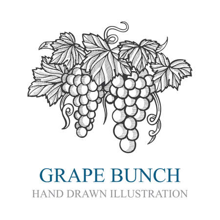 Grape bunch. Hand drawn grape bunch engraving style illustration. Grape and vine logo and background. Wine theme grape and vine vintage style ornament. Part of set.