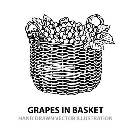 Grapes in basket. Hand drawn grapes in basket vector illustration. Grape bunch in basket sketch drawing in retro style. Isolated on white background. Wine theme design element.