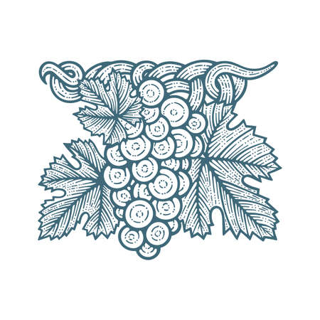 Grape bunch, vine and leafs. Grapevine vintage style hand drawn vector illustration. Part of set.