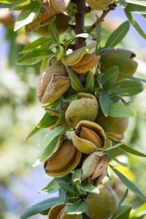 agrigento: Branch of almond