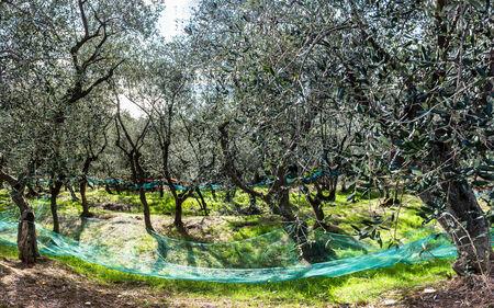 liguria: Olive harvest