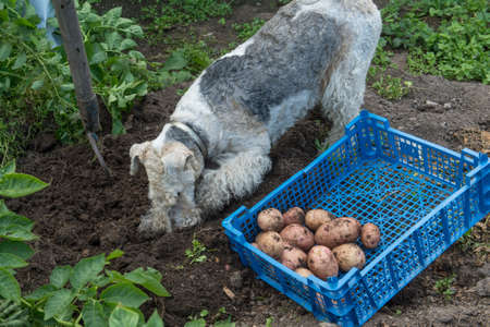 infield: Dog breed fox terrier digs in the garden of potato tubers. Crate with vegetables on the ground. Vintage infield. The fertile black soil. Stock Photo