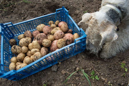 drollery: Dog breed fox terrier digs in the garden of potato tubers. Crate with vegetables on the ground. Vintage infield. The fertile black soil. Stock Photo