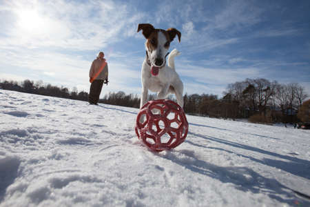 Dog English breed Jack Parson Russell Terrier playing with a ball in the snow in bright sunny weather during the day in winter
